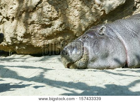 SAN DIEGO, USA - MAY 29, 2015: Pygmy hippopotamus sleeping next to a rock in the San Diego Zoo.