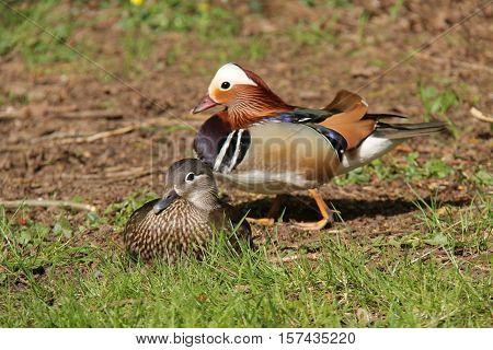 A Male and Female Pair of Mandarin Ducks.