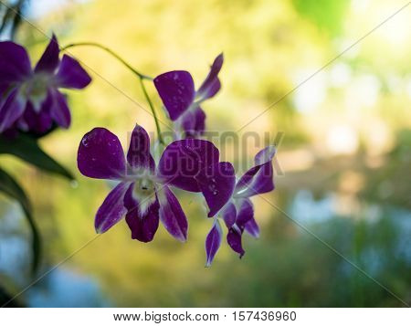 Beautiful Purple Dendrobium Orchid Flowers