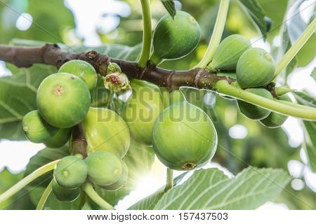 Ripe fig fruits on the tree.