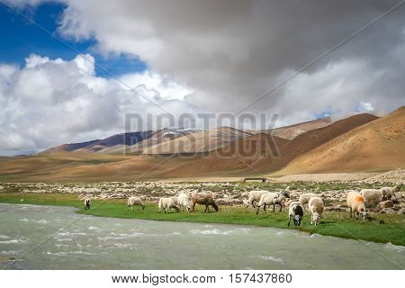 Sheeps and goats grazing on the mountain pasture on the riverbank in the tibetan part of Himalaya mountains