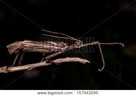 Moss Mimic Stick Insect - Anthropoda on black background poster