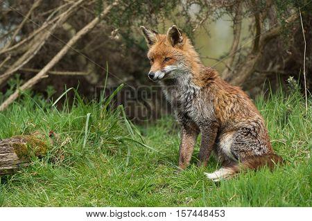 Red Fox (Vulpes Vulpes) in long green grass