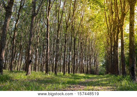 Rubber Tree Natural Latex