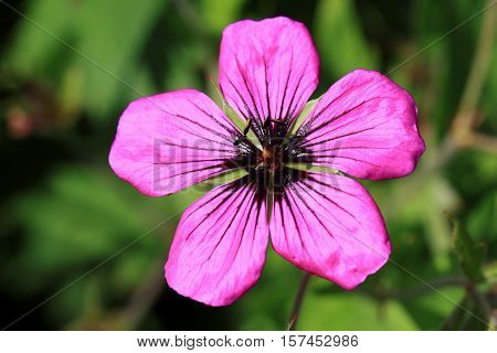Dark purple-violet Geranium psilostemon flower is good to use as ground cover and in borders