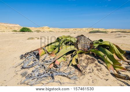 Ancient welwitschia mirabilis desert plant growing in dry river bed, Namib Desert Angola. These plants grow very slowly and for hundreds of years and are only found in this region.