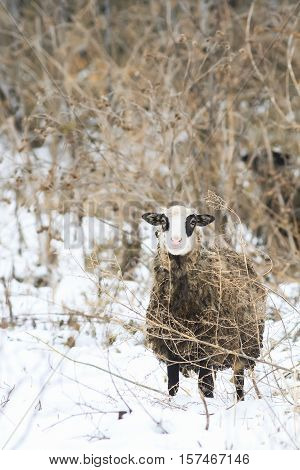 funny curly sheep peeking out from the undergrowth of dry grass
