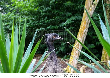 Closeup of an Emu head, scientifically know as Dromaius Novaehollandiae.