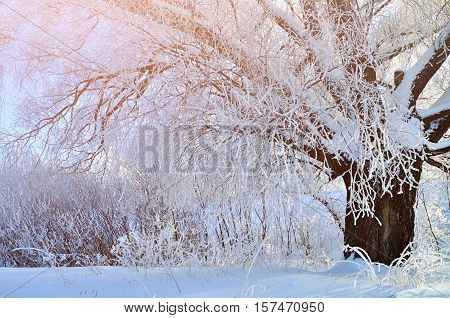 Winter landscape-winter tree in the snowy forest. Winter landscape colorful scene. Winter morning. Sunrise breaking through winter forest trees in the morning-winter nature. Winter landscape scene