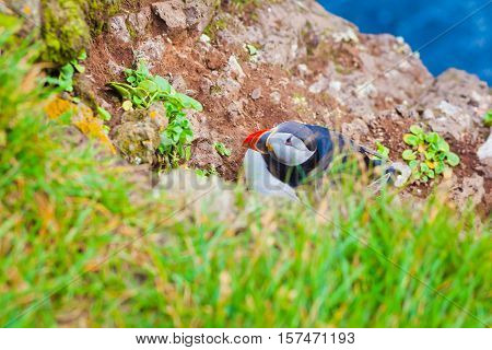 Atlantic Puffin bird on icelandic Latrabjarg Cape, Vestfirdir, Iceland.