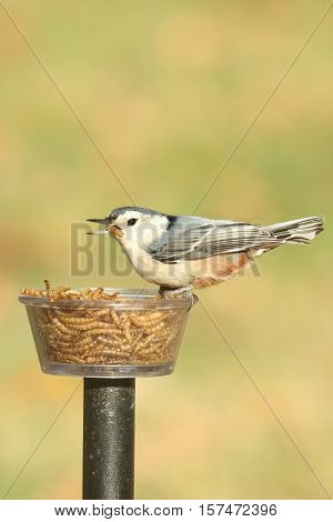 White-breasted Nuthatch (sitta carolinensis) on a feeder with a mealworm
