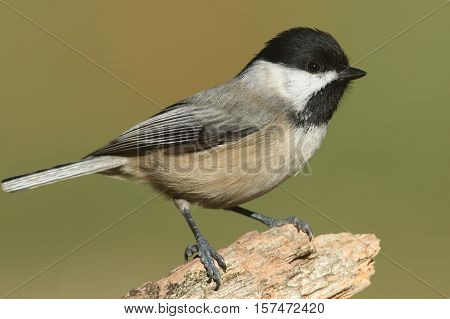 Black-capped Chickadee (poecile atricapilla) on a log in fall