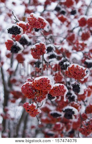 Snowy bunches of red rowanberry in winter