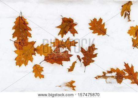 Fallen Colorfull Maple Leaves At Snow