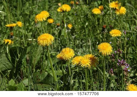 Dandelions - Common spring and summer flowers
