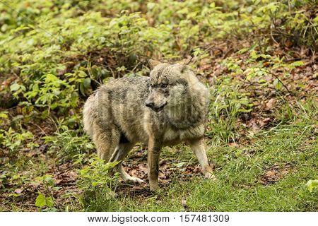 European wolf Europaeischer Wolf Canis lupus wolf CZECH REPUBLIC.