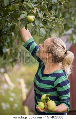 Woman picking up green apples from an apple tree in the garden on a lovely sunny summer day. Girl enjoying apple harvest. Healthy eating and lifestyle concept.