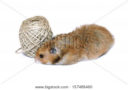 Brown Syrian hamster near coil of jute rope isolated on white background