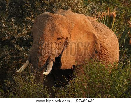 Bush Elephant standing in the field and posing for a photo.