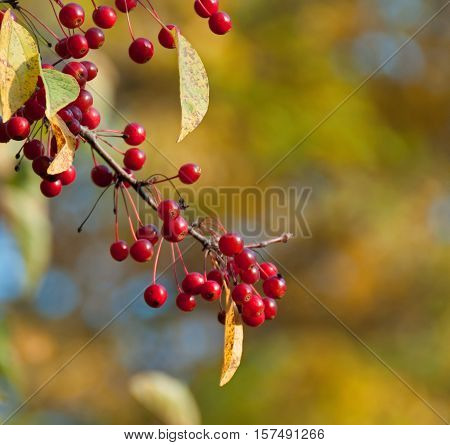 A photo of a sprig of bright red crabapples after the leaves have turned and fallen
