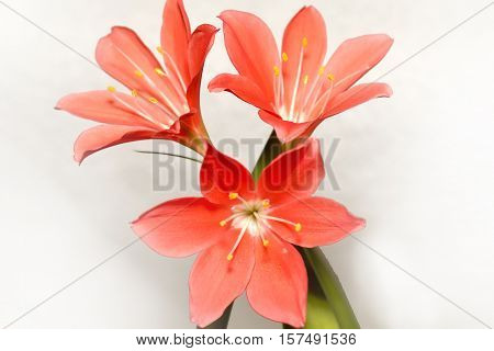 Red Lillies. This flowers in my home.
