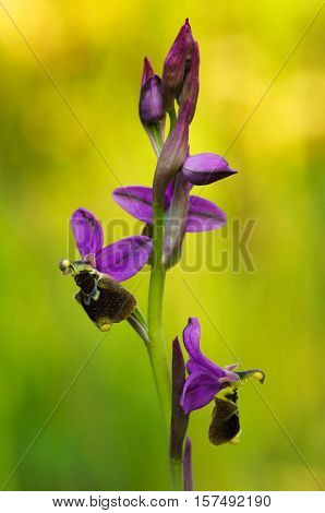 Wild Orchid Hybrid Oprhys X Turiana Flowers Profile Against Sunlit Background