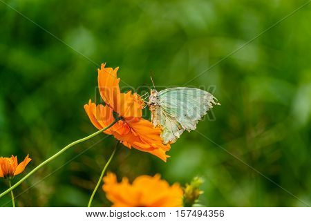 Beautiful Gulf Fritillary butterfly posed on a yellow flower feeding