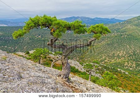 Relic pine intricately with curved trunk and two treetops on the mountain Sokol (Kush-Kaya). Crimea September.
