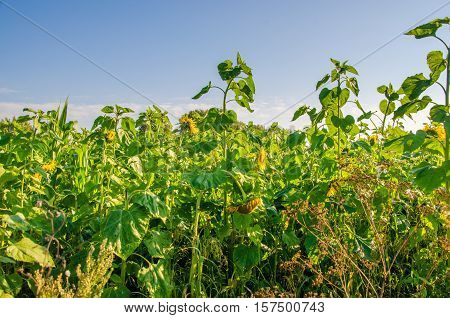 nice and warm in summer field with blooming sunflower blossoms. Dawn in the sunflowers. sunrise yellow sunflowers. sunflowers glade. morning fog in the meadow of sunflowers. bumble bee collects pollen
