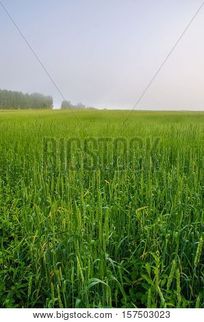 on a green lawn in the early foggy morning . dew on the lush green grass a summer misty morning. the sun's rays fall on the wet grass and flowers.  forest hiding in the fog.