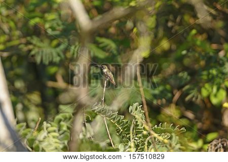 Black Chinned Hummingbird in a Tree in the Santa Ana Wildlife Refuge in Texas