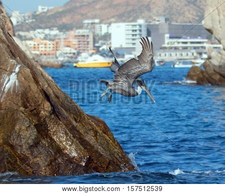 Pelican flying down to catch a fish near Los Arcos / Lands End in Cabo San Lucas Baja Mexico
