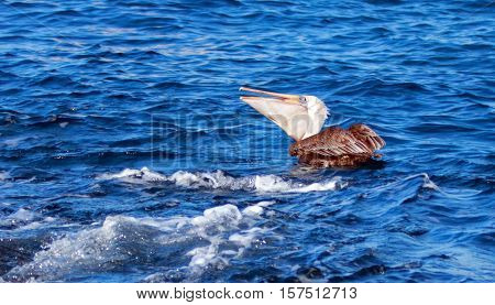 Pelican swallowing down a freshly caught fish near Los Arcos / Lands End in Cabo San Lucas Baja Mexico