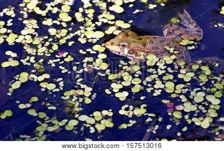 a frog in the lake, among aquatic plants