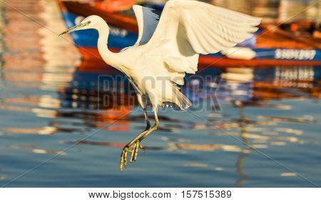 The Great Egret ( Ardea alba ). White heron flying in marina.
