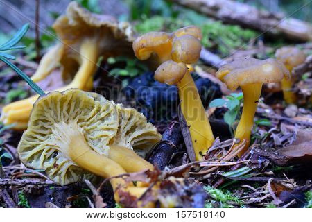 Late autumn Craterellus lutescens or Cantharellus lutescens or Cantharellus xanthopus or Cantharellus aurora commonly known as Yellow Foot mushroom in natural habitat