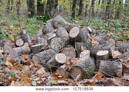 Big pile of oak firewood in the middle of autumn oak forest cut out and prepared for transportation