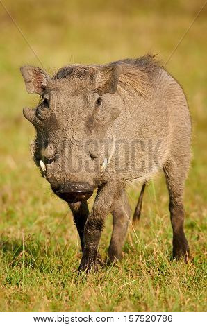 Warthog with its snout covered with mud photographed frontally in a park in Kenya
