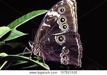 common buckeye or simply buckeyeJunonia coenia is a butterfly in the family Nymphalidae