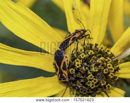 Lygaeidae are a family in the Hemiptera Milkweed bugs