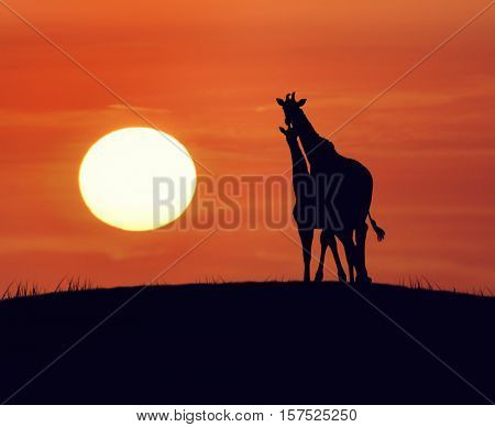 Two Giraffes Looking At Sunset