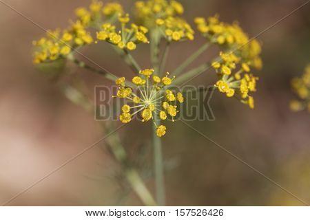 Macro photo of Dill (Anethum graveolens) flowers.