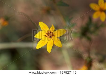 A flower of Bidens pachyloma in East Africa.