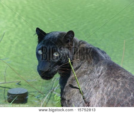 Black Asian Leopard