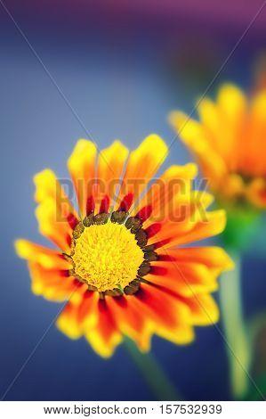 Gazania flower close up on blue background