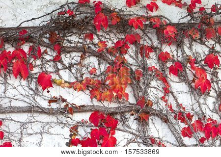Climbing plant with red leaves in autumn on the wall