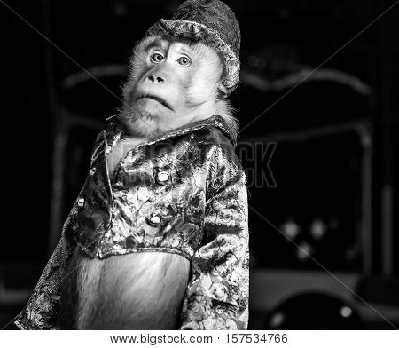 Circus chimpanzee monkey in suit and hat portrait. Black-white fine art photo.