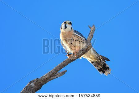 AMERICAN KESTREL or SPARROW-HAWK Falco sparverius perched on branch, eating a grasshopper. Clear blue sky background.