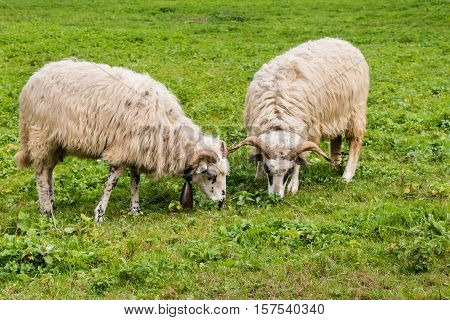 closeup of two woolly sheep grazing on meadow