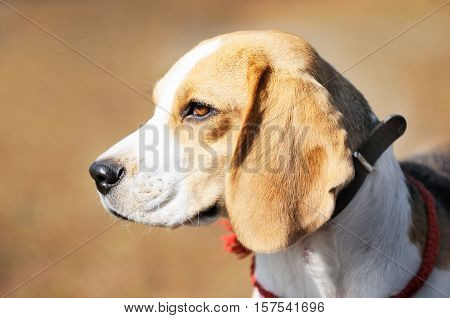 Young thoroughbred Beagle dog portrait over blurry background